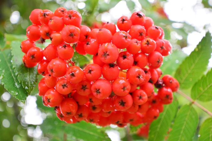 DSC_0303rowan berries
